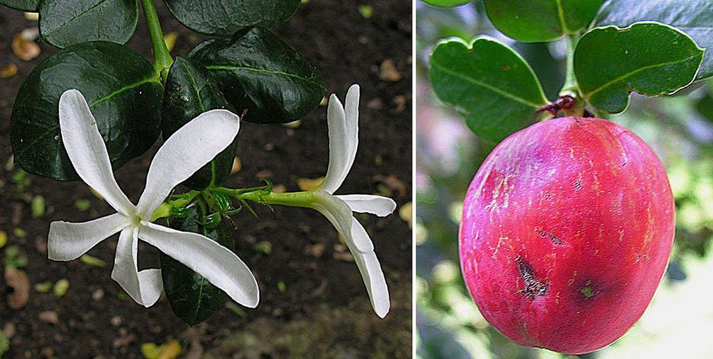 natal plum