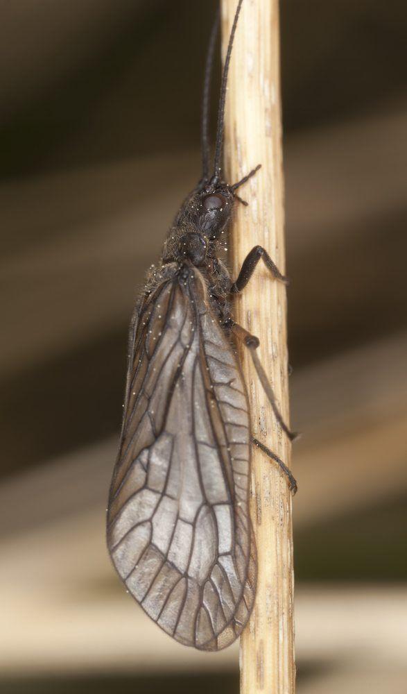 alderflies