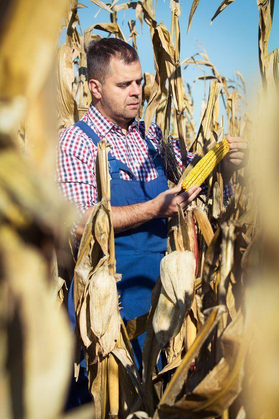 Farmer looking at his corn