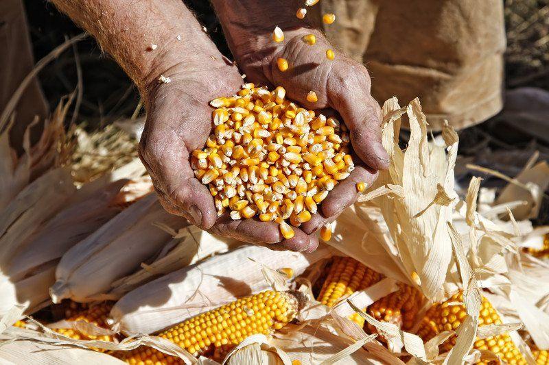 Farmer with corn