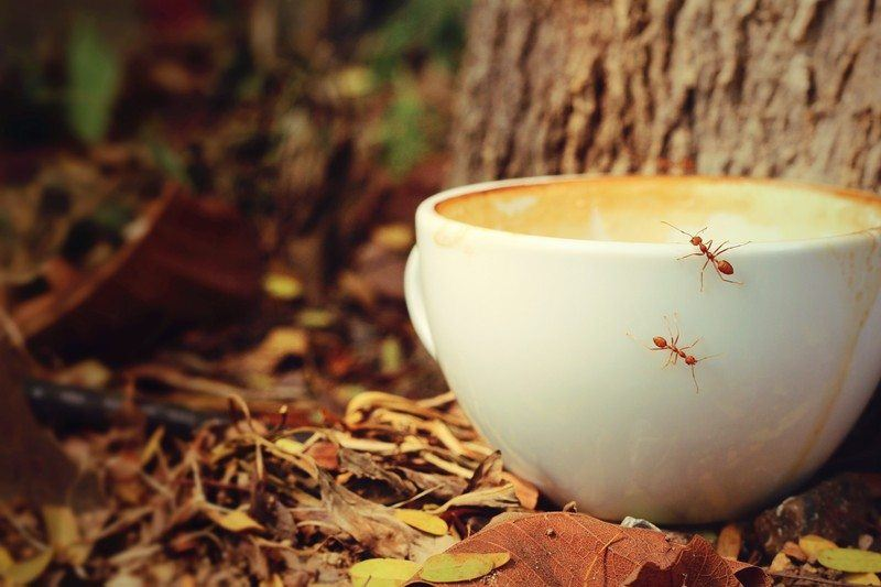 coffee insect repellant ants