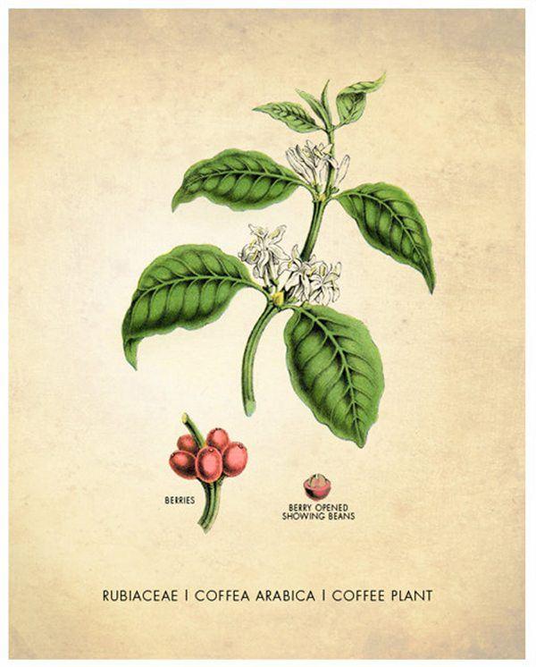 Coffea Arabica Botanical Drawing Poster