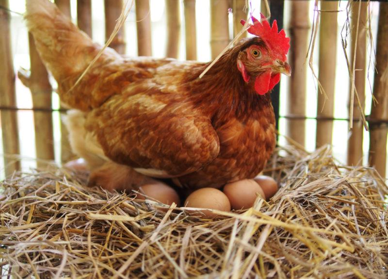 A hen in a coop with eggs under her