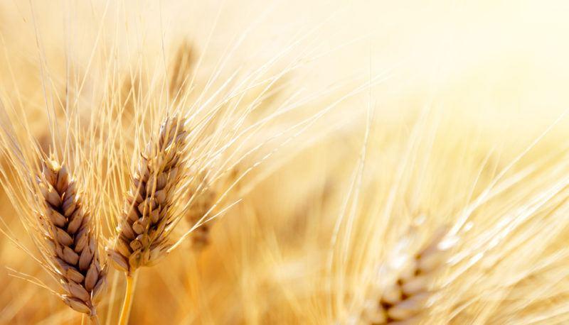 Fresh wheat in a field in the sunshine