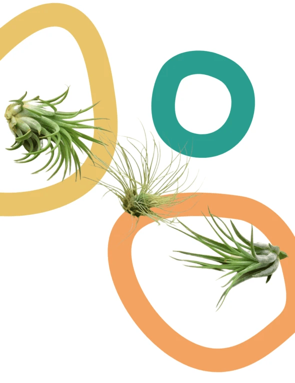 Air Plant Subscription From Green Door Garden showing three air plants against a white background with colorful circles