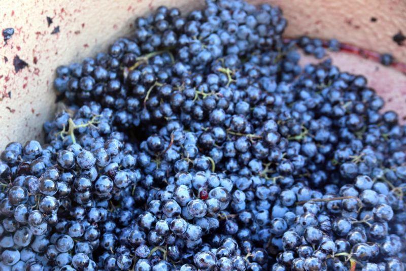 Alicante Bouschet Grapes