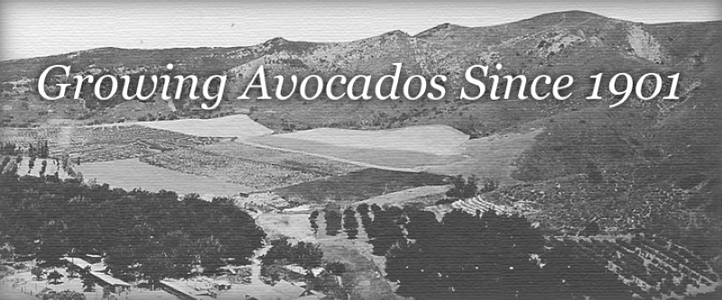 """Black and white photo of an avocado farm, with white font on the top stating """"Growing Avocados Since 1901"""""""