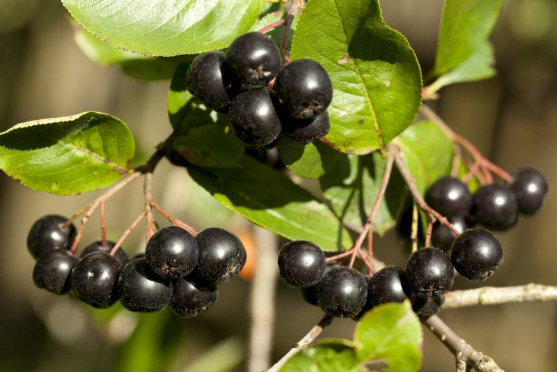 Three clusters of black chokeberries on a bush