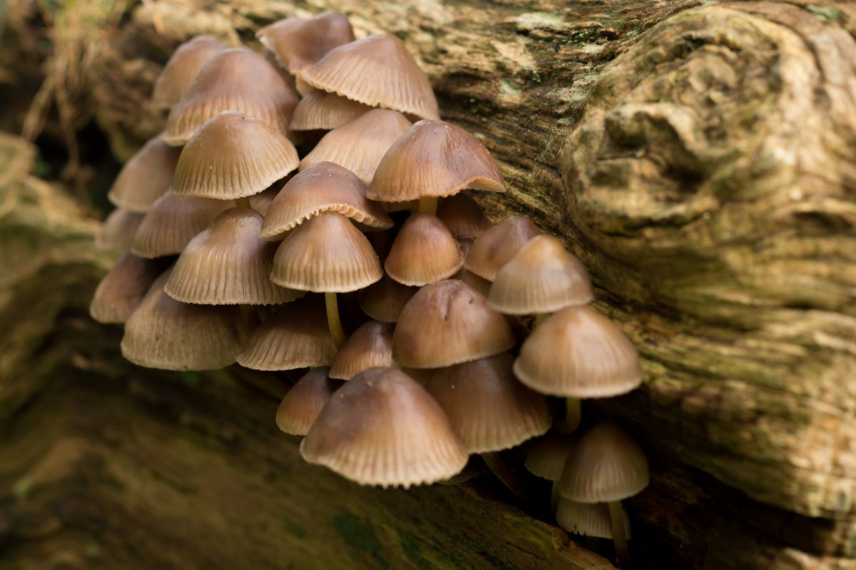 Brown mushrooms  growing on a log