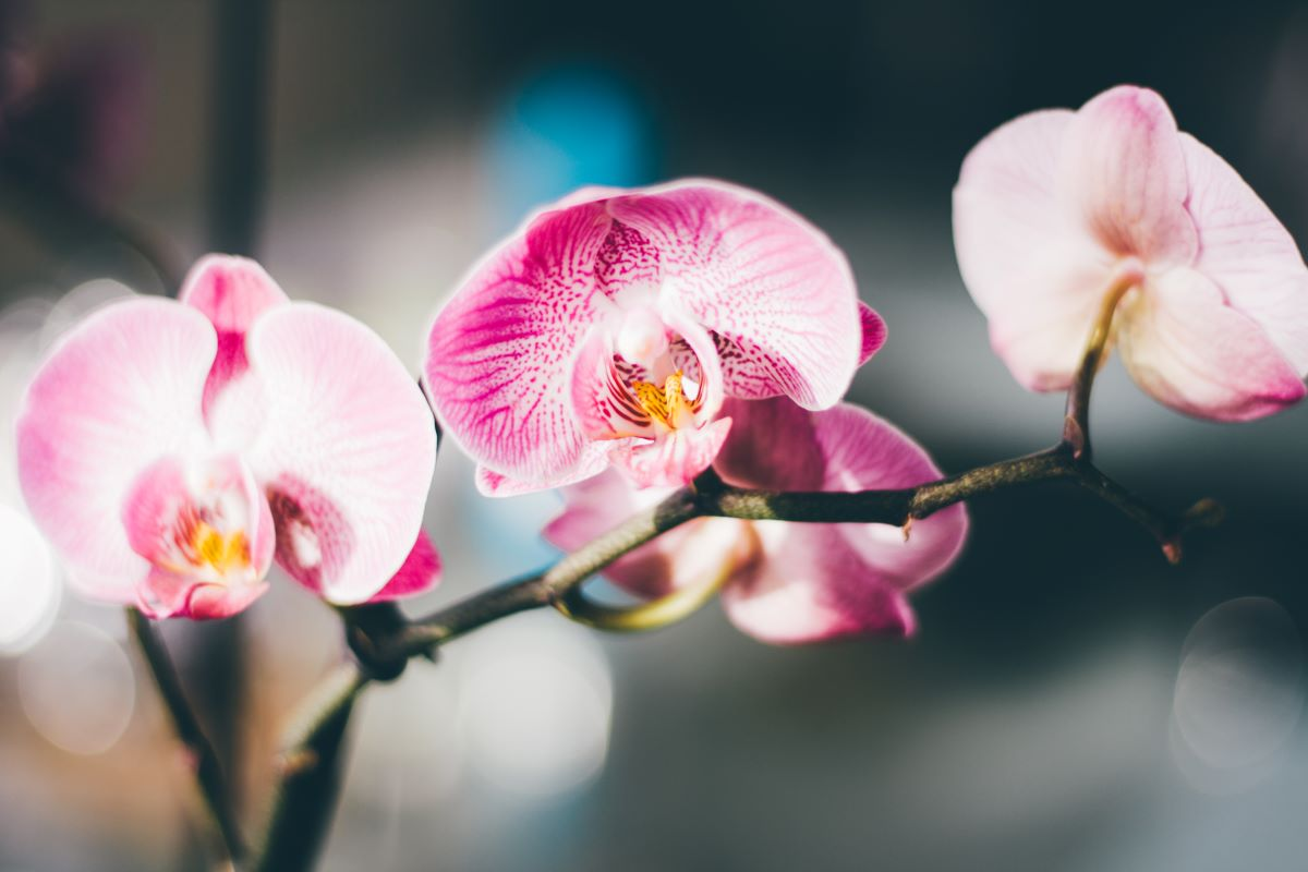 Close up of a pink and white moth orchids