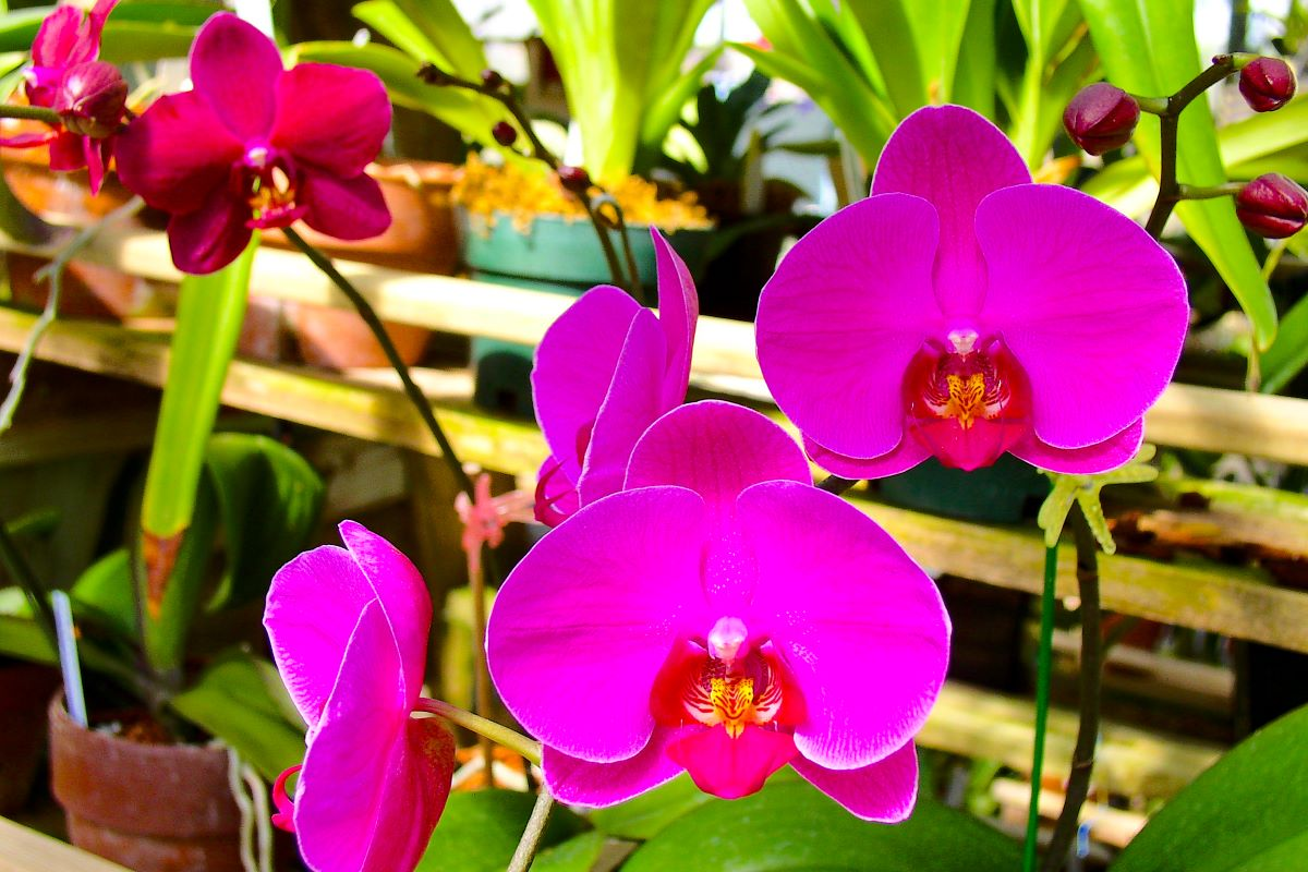 Solid vibrant pink orchid in a pot - shelves of pots in the background