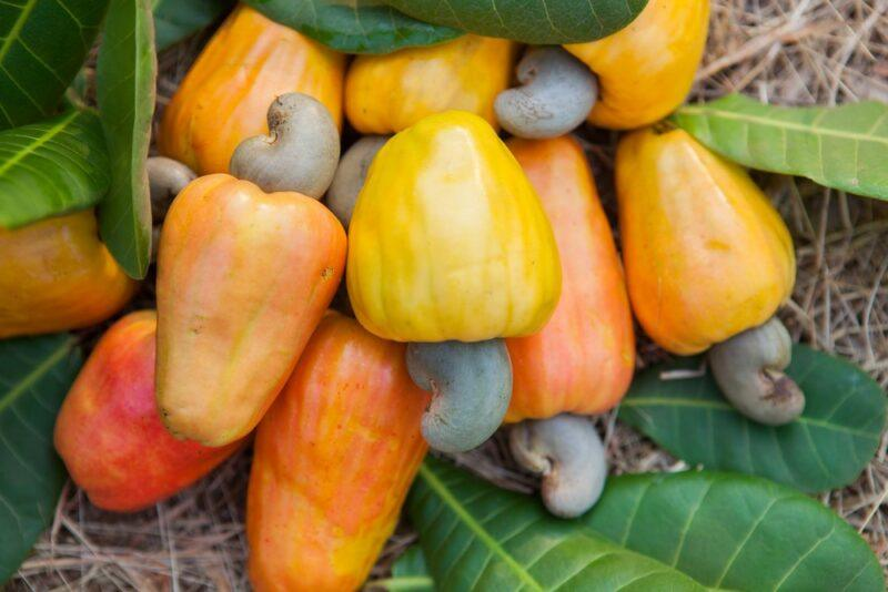 Cashew fruits with the nuts still attached, which will be used to make Indian alcohol