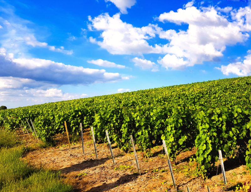 Champagne Vineyards with Pinot Meunier Grapes