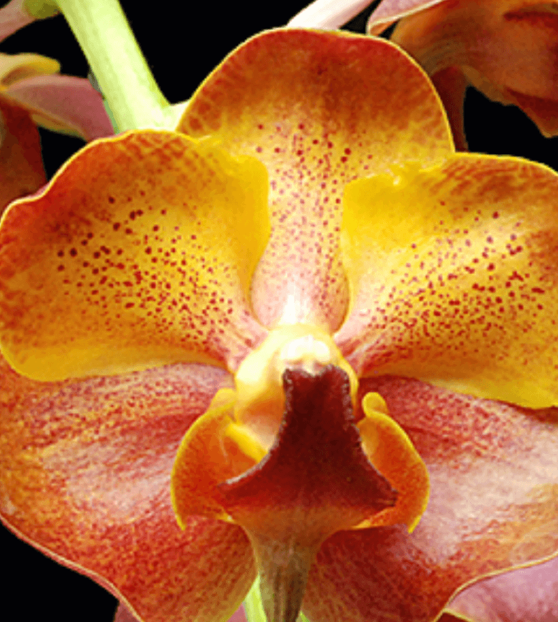 Close up of a Yellow and orange-red orchid