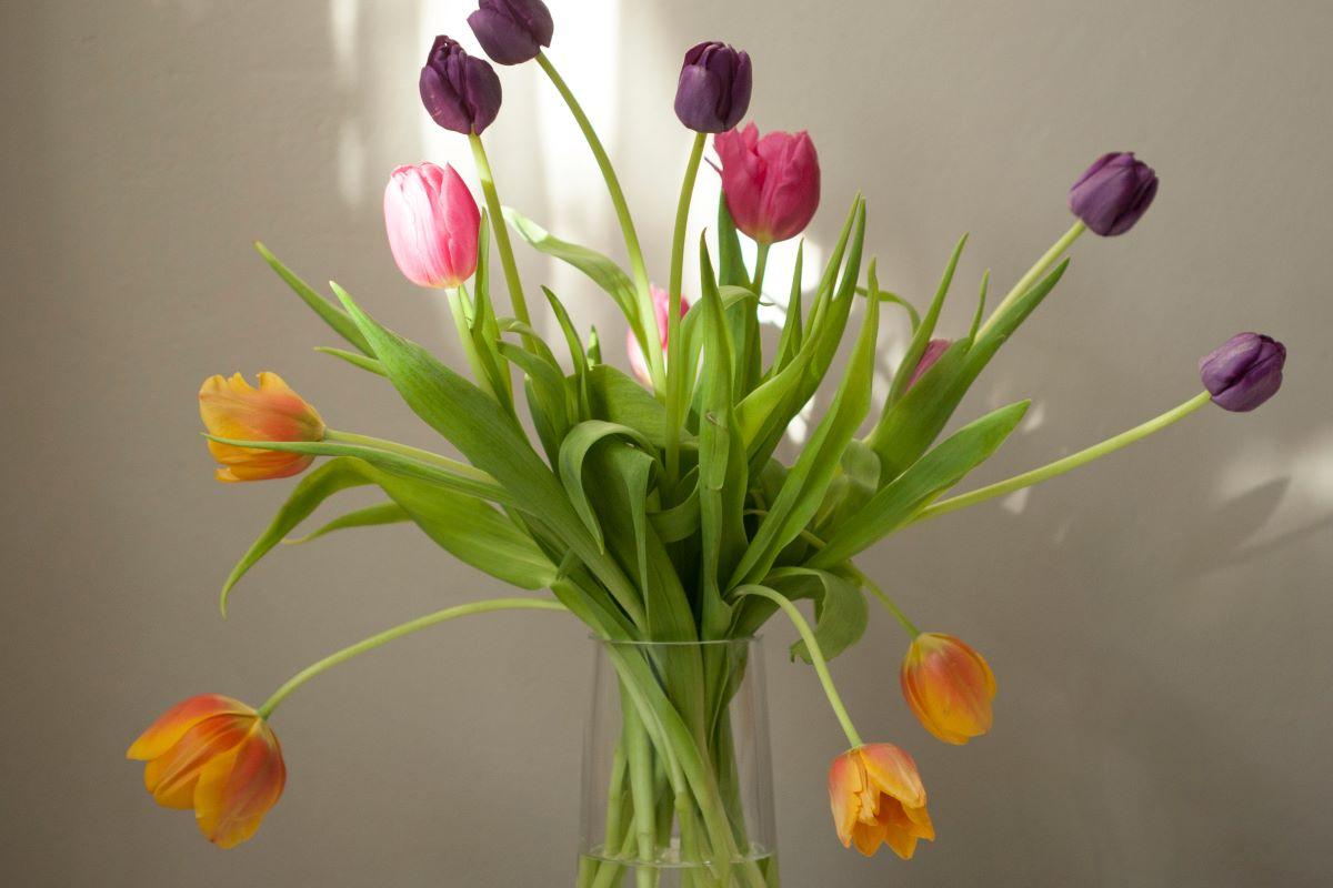 Colorful Tulips in a glass vase with white wall background
