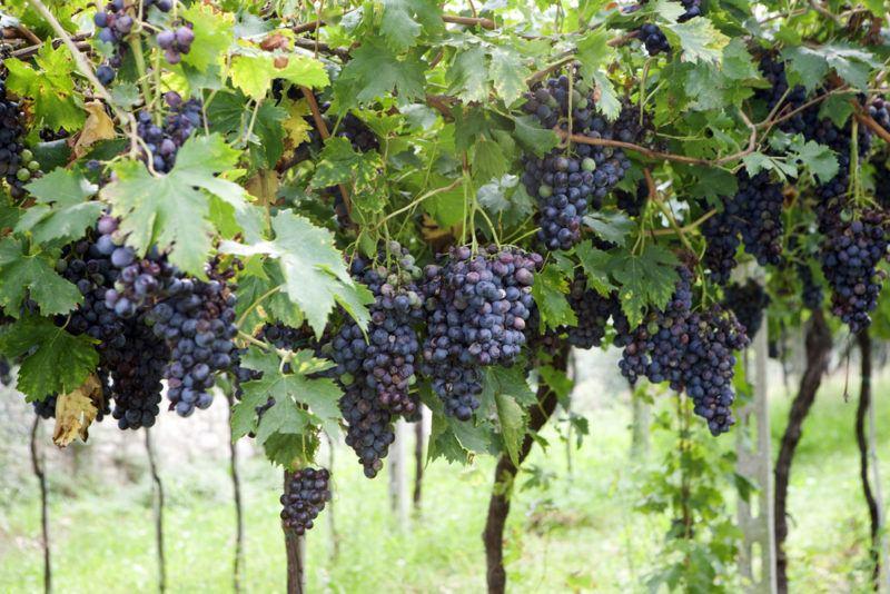 Corvina Grapes in a Vineyard
