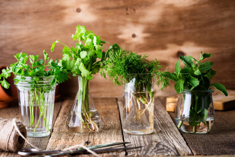 Four types of green herbs in glass jars including cilantro, parsley, dill, and mint
