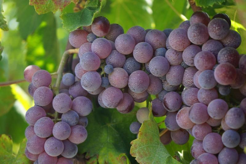 Gaglioppo Grapes