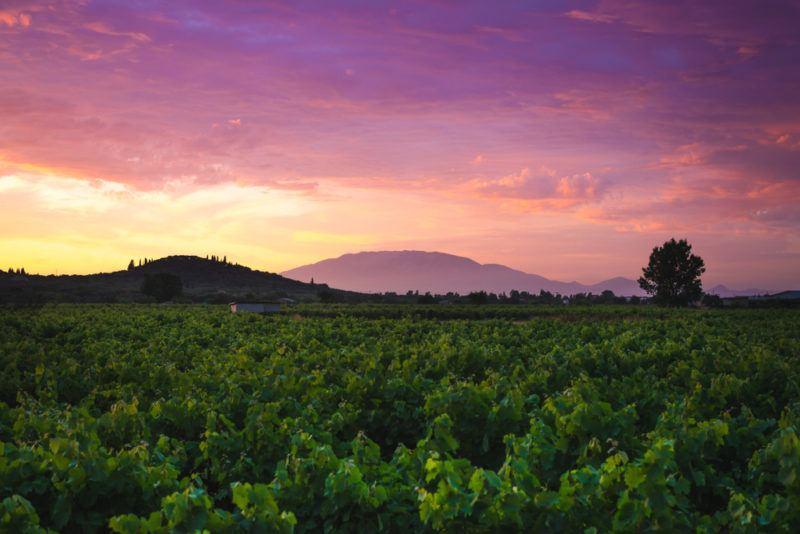 Greek Vineyard with Xinomavro Grapes