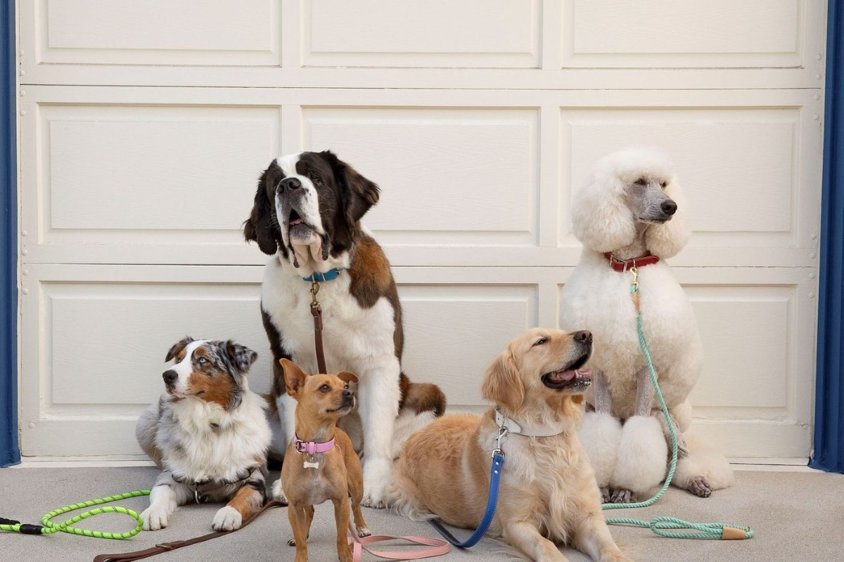 5 dogs sitting in front of a white garage door from left to right Australian shepherd, St. Bernard, chihuahua, golden retriever, and standard white poodle