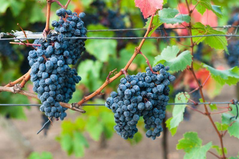Kadarka Grapes