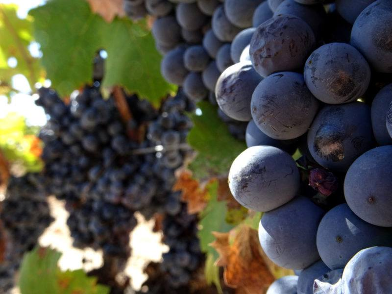 Monastrell Grapes