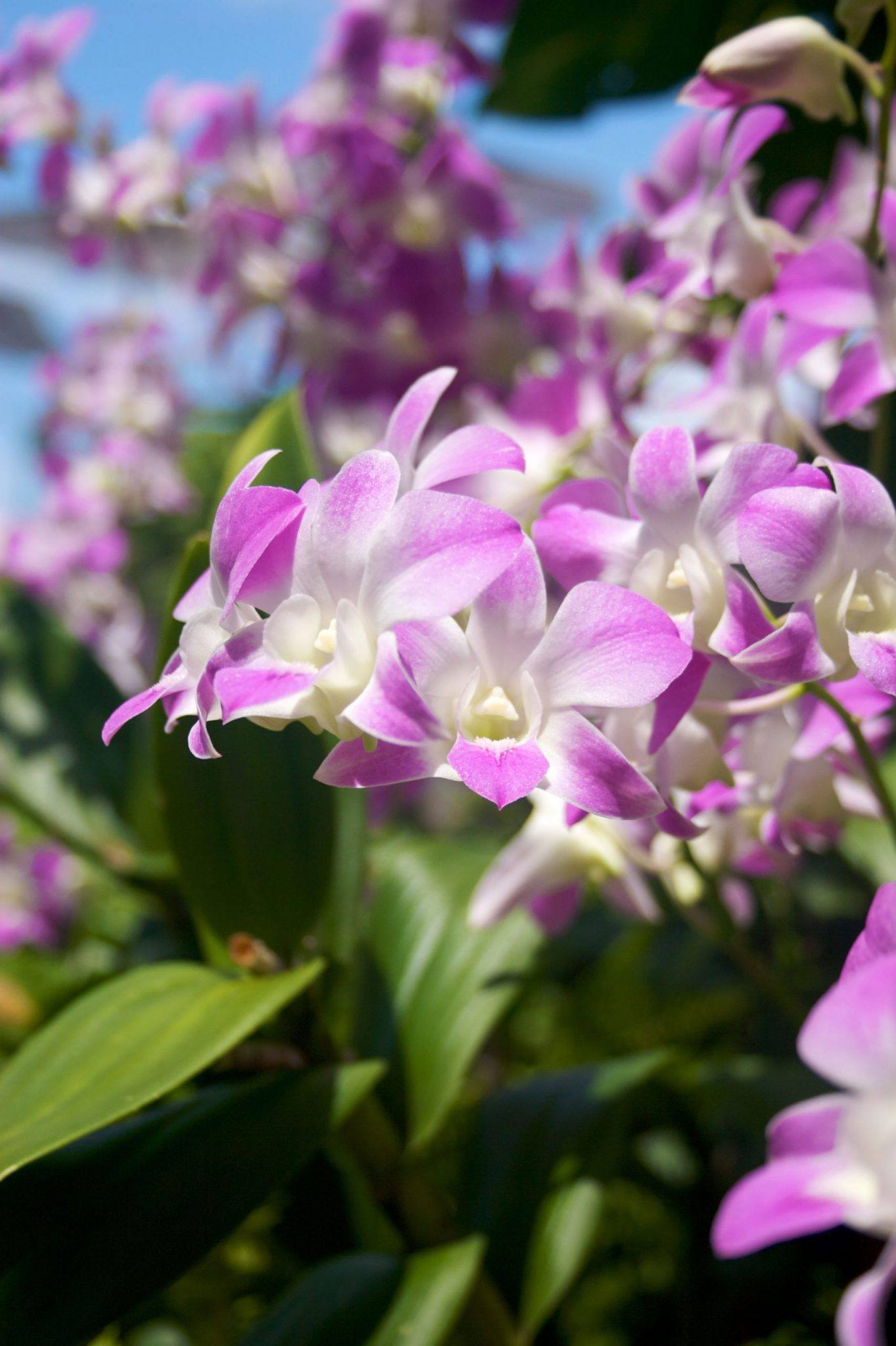 Purple and white orchid outside with blue skies