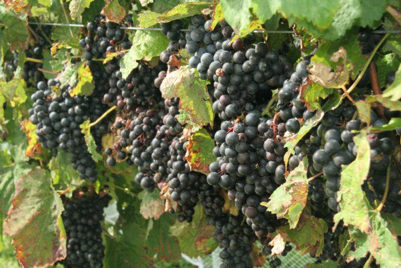 Pinotage Grapes