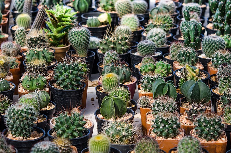 Cactus of the Month Club - potted cactus garden filling the whole photo with medium size plants of varying species.  Though all are green in color and are either in a black or terracotta pot.