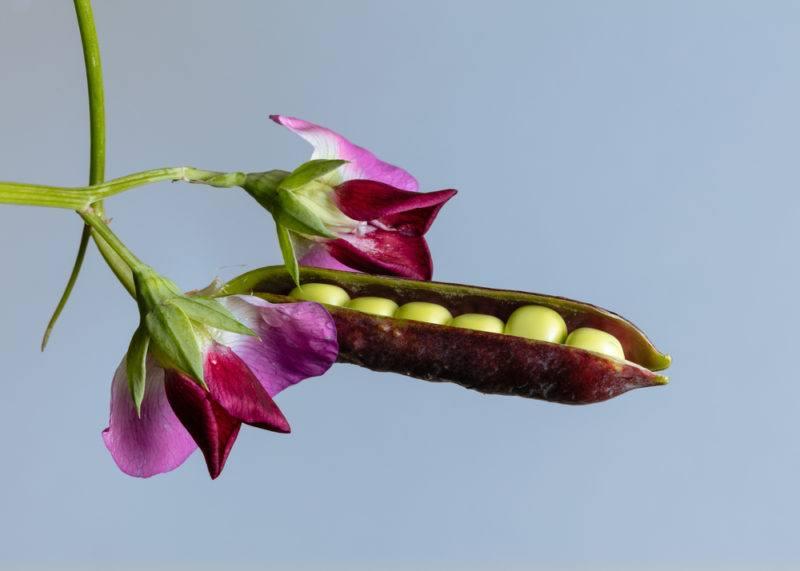 A purple pea pod and green peas