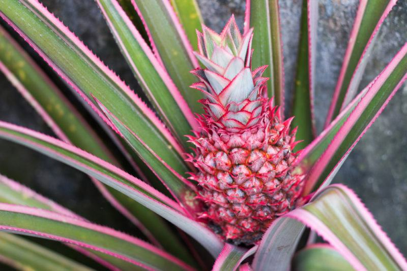 A red pineapple in a bush