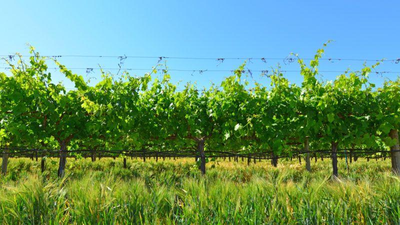 Ruby Cabernet Vineyard in California
