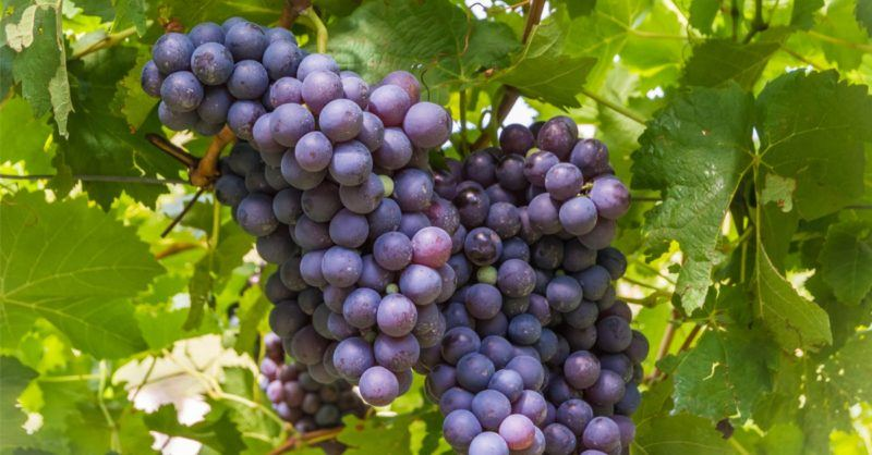 Schiava Grapes