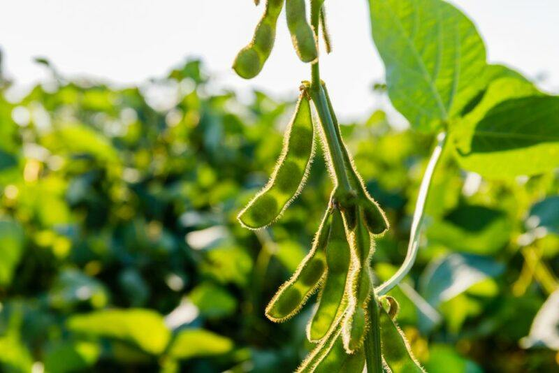 Some immature soybeans growing in the field