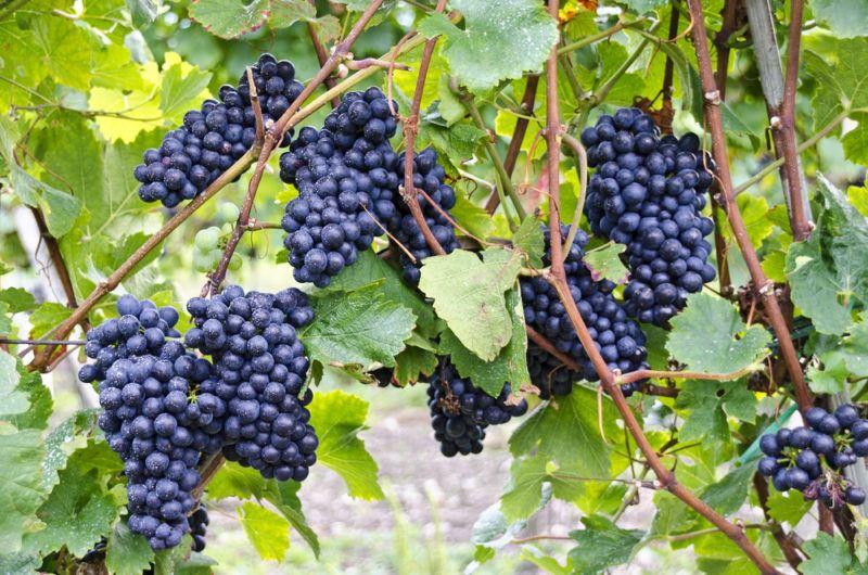 St. Laurent Grapes