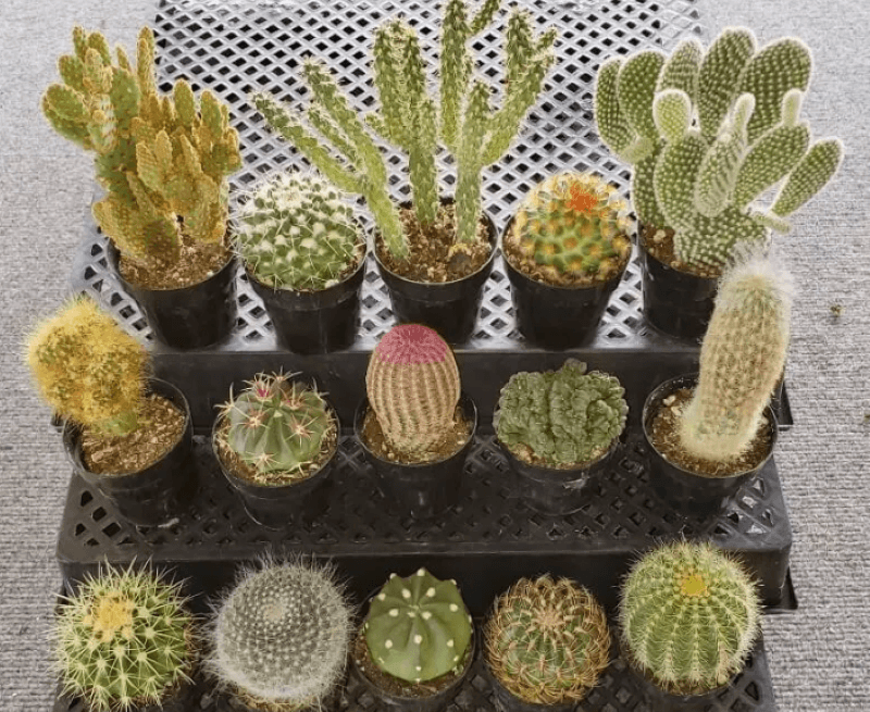 A variety of 15 small cactus plants set on black plastic shelving