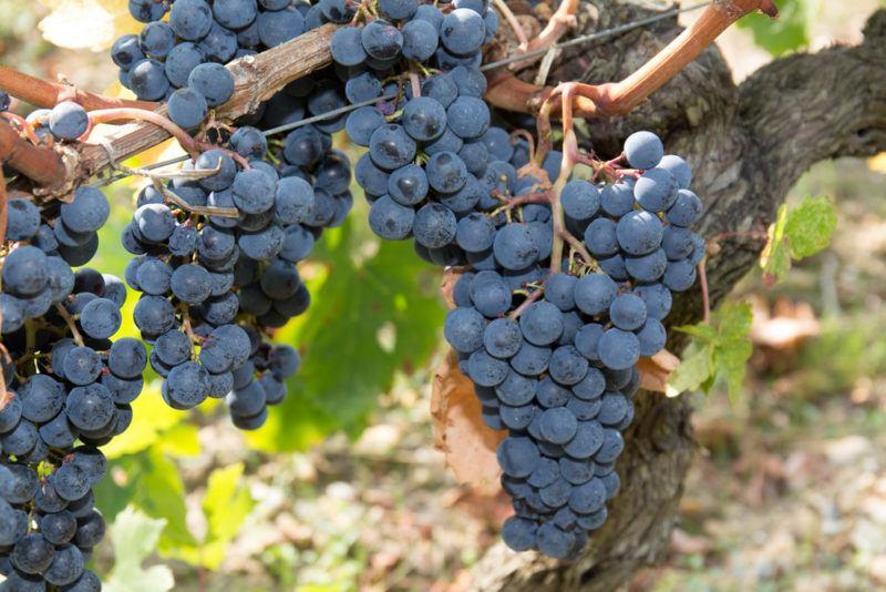 Syrah Shiraz Grapes