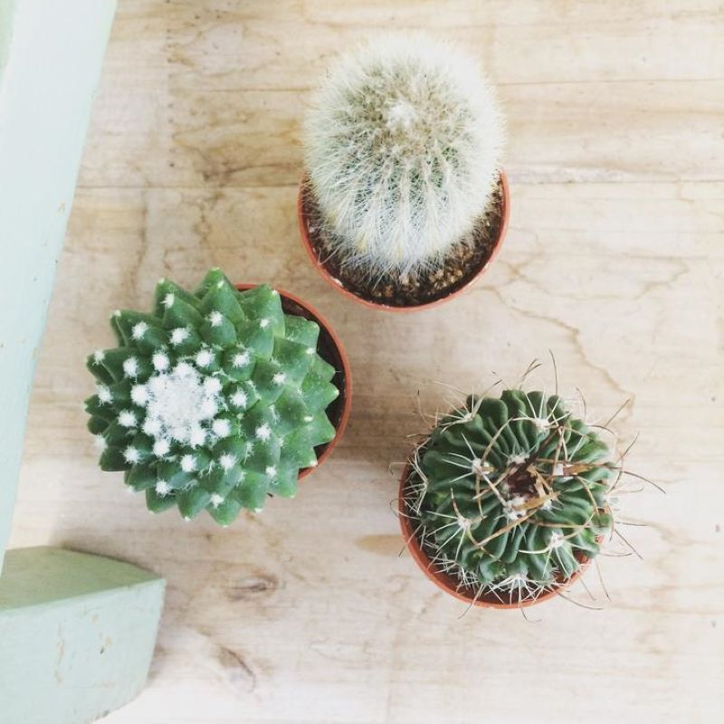 3 small cactus plants sitting on a wooden table each is planted in a small terracotta pot