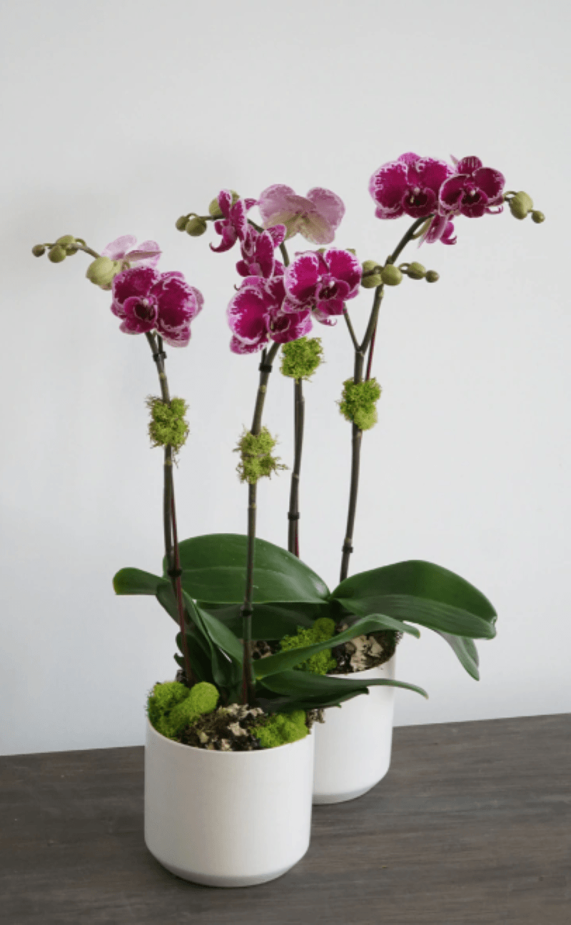 Two white pots of pink orchids sitting on a wooden table