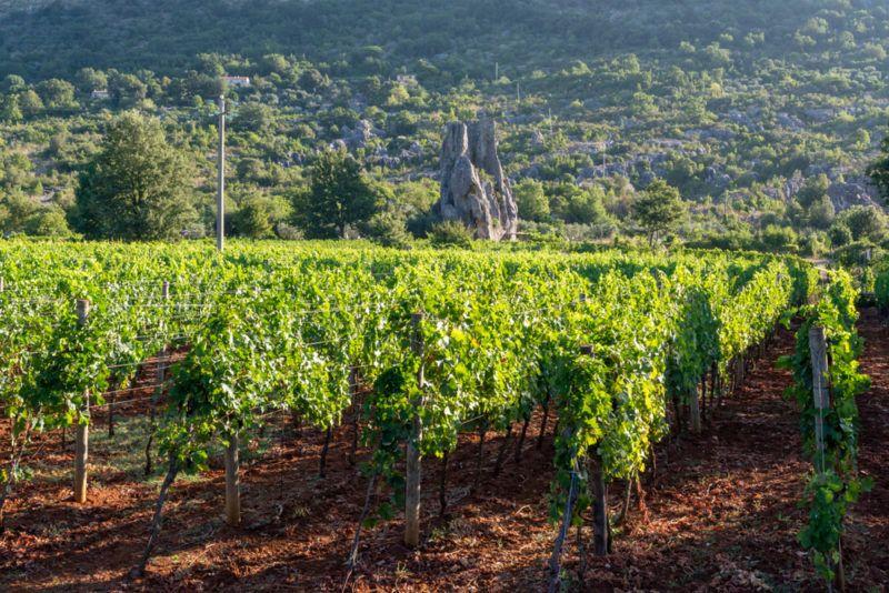 Vineyard Growing Petit Verdot Grapes