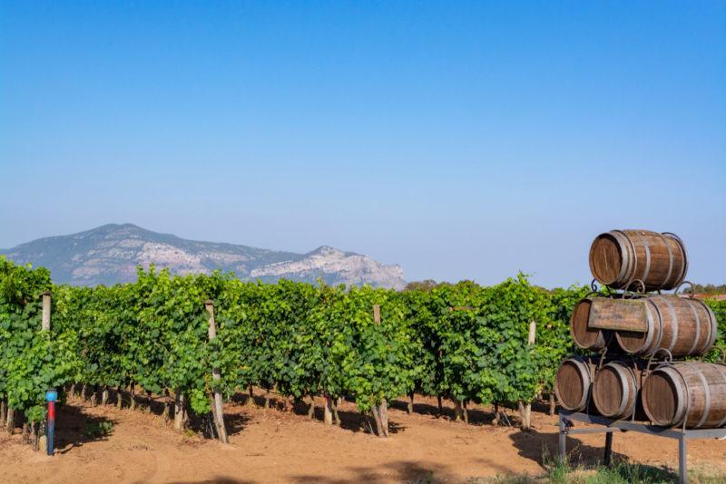 Vineyard Growing Petite Sirah Grapes