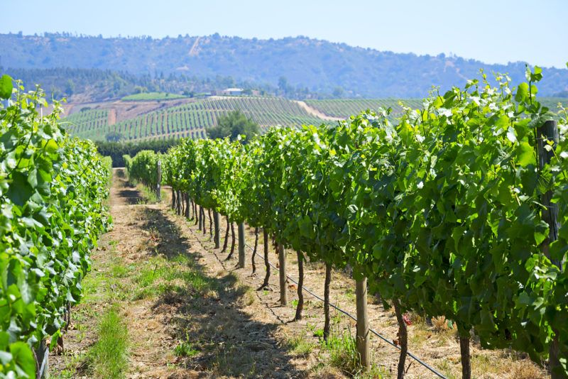 Vineyard in Chile for Pais Grapes