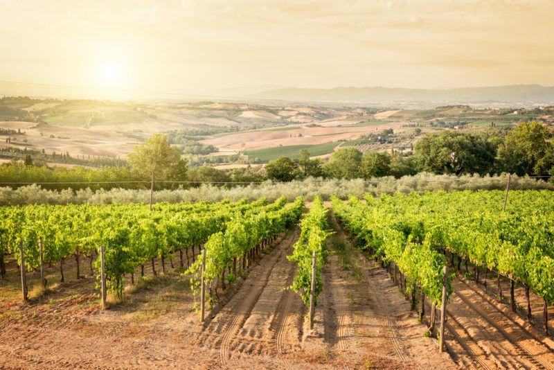 Vineyard in Montepulciano