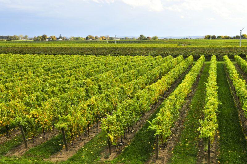 Vineyard in Ontario Canada for de Chaunac grapes