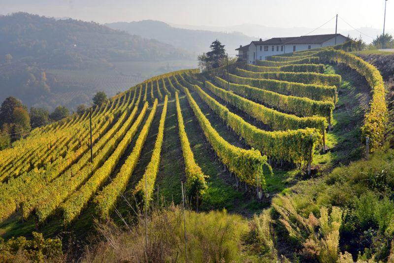 Vineyard in Piedmont with Freisa Grapes
