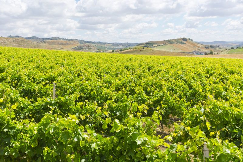 Vineyard in Sicily with Frappato Grapes