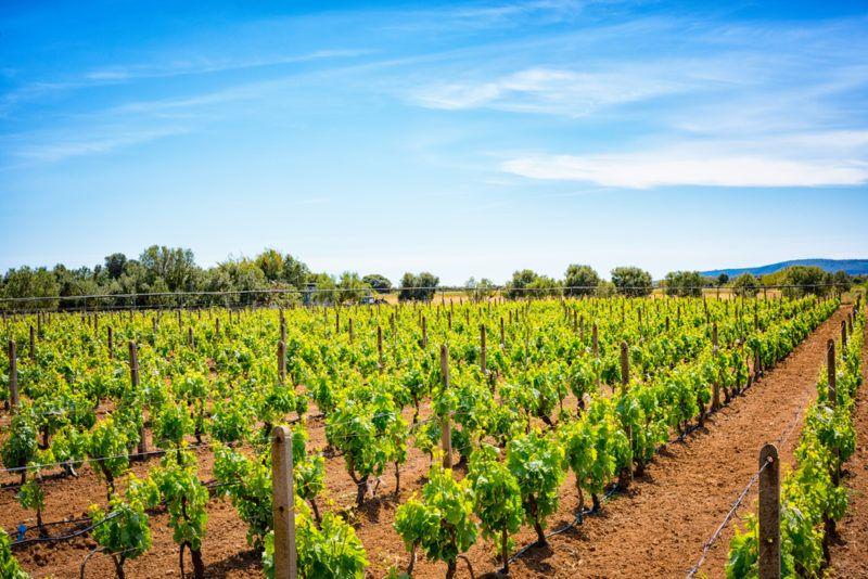 Vineyard in South Sardinia Carignan Grapes