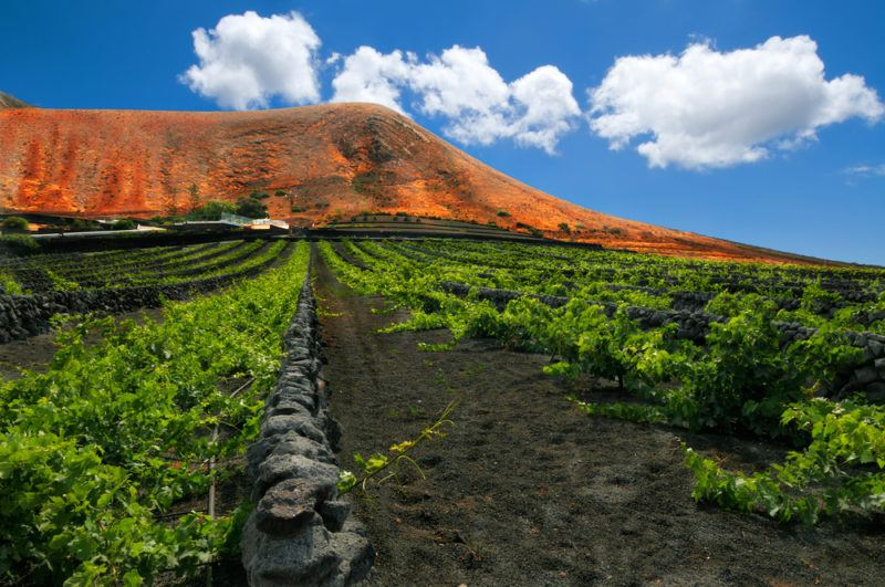 Vineyard in the Canary Islands Listan Negro Grapes