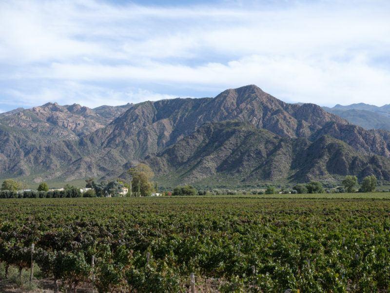 Vineyard with Tannat Grapes