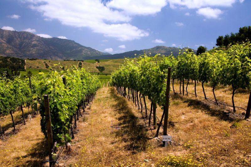 Vineyards in Chile near Santa Cruz with Carmenere grapes